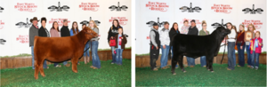 ​  Royal FFA Heifer Exhibitors Results at Fort Worth Stock Show